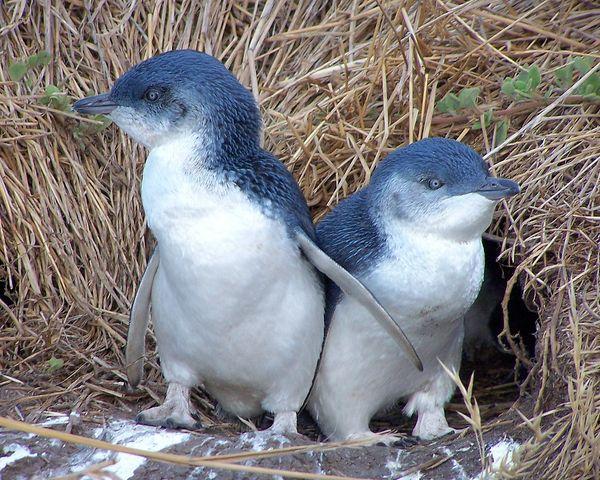花崗岩島神仙企鵝