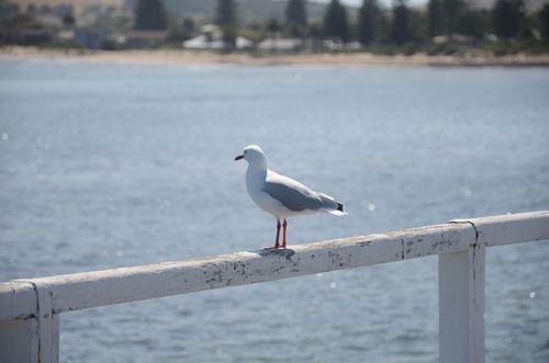 虎視眈眈的海鷗